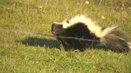 Sunshine the skunk