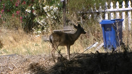 baby deer near trash cans.MTS.Still001
