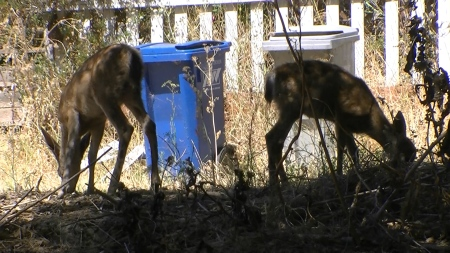 baby deer near trash cans.MTS.Still003