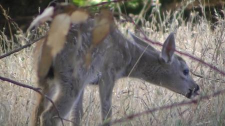 deer baby 8