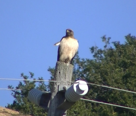 Hawk on pole different perspective copy