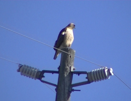 Hawk sitting up straight copy