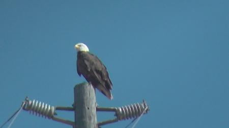 bald-eagle-5