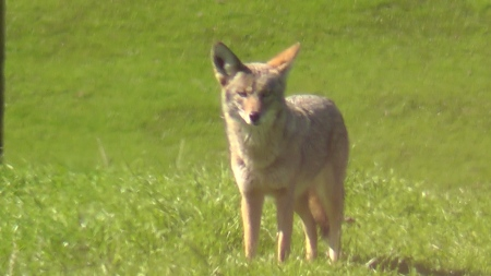 coyote-closeup-3