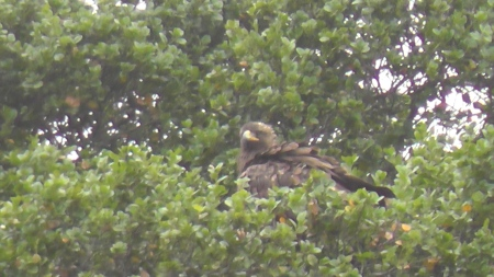 eagle-in-tree-1