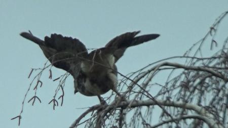 medford-hawk-on-tree-4