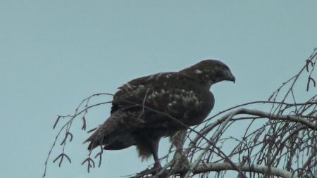 medford-hawk