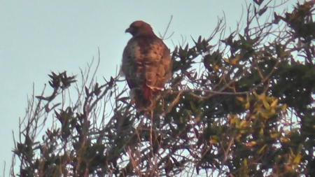 red-tailed-hawk-sg-fremont-mts-still001